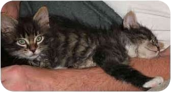 Maine Coon Kitten for adoption in San Diego/North County, California - ARDIS & ARIEL