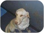 Labrador Retriever Mix Dog for adoption in Edwardsville, Illinois - Louise