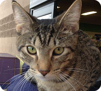 Domestic Shorthair Kitten for adoption in Chandler, Arizona - Loki