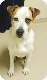 Pit Bull Terrier Mix Dog for adoption in Gary, Indiana - Hoss
