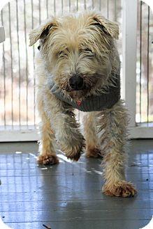Miniature Schnauzer Dog for adoption in Bedford, Virginia - Bean
