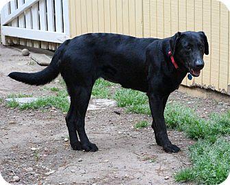 Labrador Retriever Dog for adoption in Cumming, Georgia - Lindsay