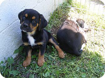 Rottweiler Mix Puppy for adoption in Rochester, New Hampshire - Sammy
