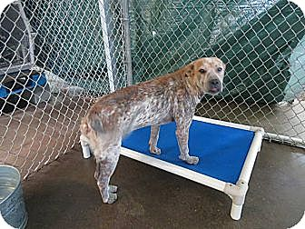 Australian Shepherd Mix Dog for adoption in Henderson, North Carolina - Elaine