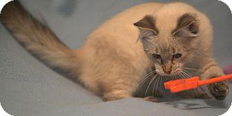 Siamese Kitten for adoption in Rochester, New York - Oscar
