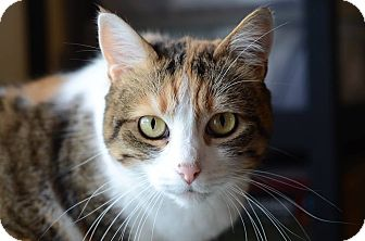 Calico Cat for adoption in Eureka, California - Alicat