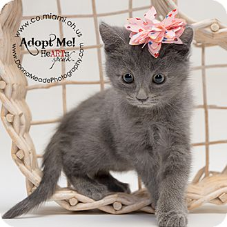 Domestic Shorthair Kitten for adoption in Troy, Ohio - Monica-ADOPTED