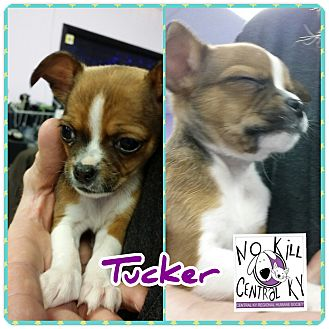 Chihuahua/Boston Terrier Mix Puppy for adoption in Lancaster, Kentucky - Tucker