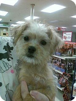 Yorkie, Yorkshire Terrier Mix Puppy for adoption in Long Beach, California - TOM TOM