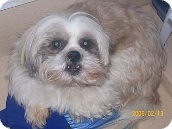 Shih Tzu Mix Dog for adoption in Newburgh, Indiana - Christopher Pendin