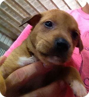 German Shepherd Dog/Labrador Retriever Mix Puppy for adoption in PARSIPPANY, New Jersey - ANDERSON/ADELE