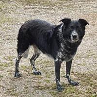Adopt A Pet :: Pete - Holden, MO