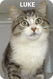 Domestic Shorthair Cat for adoption in Lapeer, Michigan - Luke-Handsome!