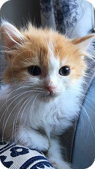 Domestic Longhair Kitten for adoption in Wayne, New Jersey - Nemo