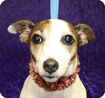 Parson Russell Terrier Mix Dog for adoption in Jackson, Michigan - Margie