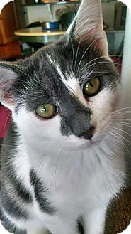 Domestic Shorthair Kitten for adoption in Concord, North Carolina - Harmoni