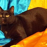 Domestic Shorthair Cat for adoption in St. Louis, Missouri - Maximillian