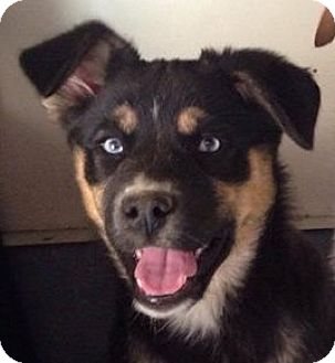 Australian Shepherd Mix Puppy for adoption in Colonial Heights, Virginia - Lilly 2