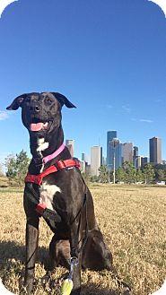 Labrador Retriever/Beagle Mix Dog for adoption in Boston, Massachusetts - A - SISSY