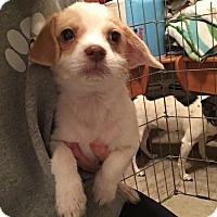 Adopt A Pet :: Jingle - bridgeport, CT