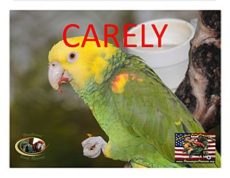 Amazon for adoption in Vancouver, Washington - Carley The Amazing Amazon!