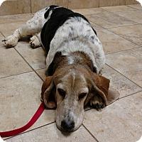 Adopt A Pet :: Abby - Barrington, IL