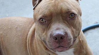 American Pit Bull Terrier Dog for adoption in Fulton, Missouri - Jax - California