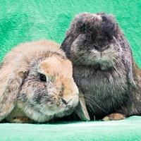 Adopt A Pet :: Jersey & Georgia - Baton Rouge, LA