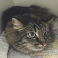 Adopt A Pet :: Sasha - Frazier Park, CA