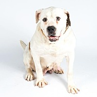 American Bulldog Dog for adoption in St. Louis Park, Minnesota - Holly-FOSTER HOME NEEDED