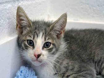 Domestic Shorthair Kitten for adoption in Fort Lauderdale, Florida - GABBIE