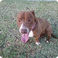 Adopt A Pet :: Koda Bear - Bakersfield, CA