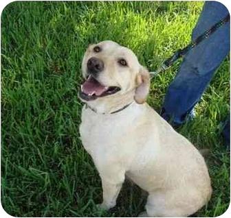 Labrador Retriever Dog for adoption in Coral Springs, Florida - Princess