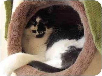 Domestic Shorthair Cat for adoption in El Cajon, California - Tux