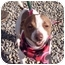 Photo 1 - Chihuahua Mix Dog for adoption in Sacramento, California - Stitches