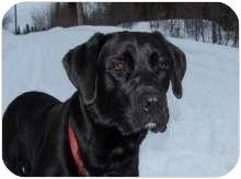 Labrador Retriever/Boxer Mix Puppy for adoption in Ste-Agathe des Monts, Quebec - Leon
