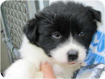 Basenji/Hound (Unknown Type) Mix Puppy for adoption in Kingston, New York - Rhett