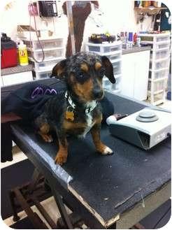 Dachshund/Chihuahua Mix Dog for adoption in Goleta, California - Rocky