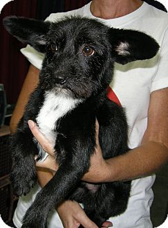 Cairn Terrier Mix Dog for adoption in Las Vegas, Nevada - Tux