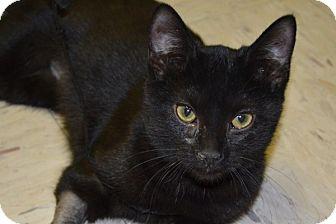 Domestic Shorthair Kitten for adoption in Elyria, Ohio - Harlow