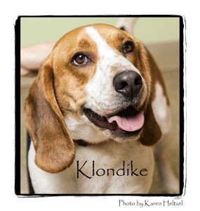 Beagle/Basset Hound Mix Dog for adoption in Warren, Pennsylvania - Klondike