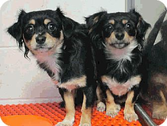 Cavalier King Charles Spaniel/Papillon Mix Dog for adoption in Litchfield Park, Arizona - Estrella - Only $35 adoption!