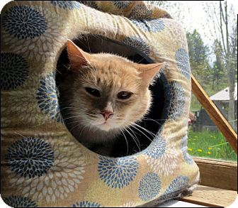 Domestic Shorthair Cat for adoption in Colville, Washington - Gus
