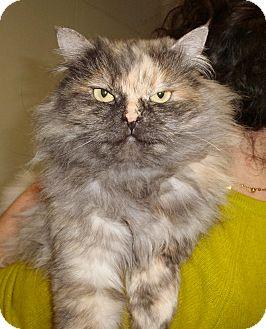 Persian Cat for adoption in Pueblo West, Colorado - Gracie