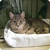Adopt A Pet :: Nickolson - New York, NY