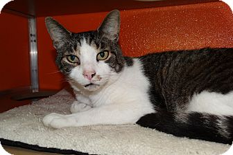 Domestic Shorthair Cat for adoption in Elyria, Ohio - Gypsey