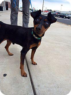 Miniature Pinscher Dog for adoption in Philadelphia, Pennsylvania - CHIPPER!