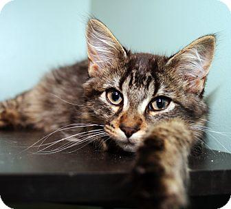 Domestic Longhair Kitten for adoption in Royal Oak, Michigan - RIVER