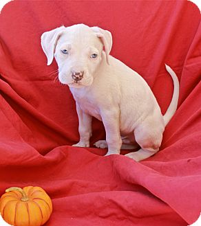 American Staffordshire Terrier/Bulldog Mix Puppy for adoption in Studio City, California - Pete