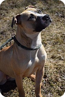 American Pit Bull Terrier Dog for adoption in Cary, Illinois - Peanut